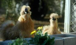Chicks! Chicks! Chicks! Bearded Bantam Silkies Bearded Bantam Silkies available year-round ? Private Breeder since 1982 ? White, Black, Buff, Splash, Partridge and Blue ? Visitors Welcome by Appointment ? Credit Cards Welcome ? Prices $15.00 and up ? Ship