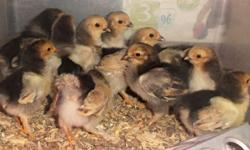 Union City PA 16438 Canadohta Lake / Brown Hill area Cash & Pick Ups Only Chicks ages vary (3wks to a few days old) Straight Run Buff Brahma Bantams: $3ea Available Now: *13 Chicks: 2-3wk old Buff Brahma Bantams $39 will take $30 for all *5 Chicks: 1 wk