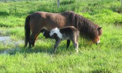 Savanah is an very pretty AMHA and AMHR registered miniature horse mare. She is super quite and gentle and could be handled by even a small child, loves attention, and would love a family of her own. Some little girl could have lots of fun braiding her