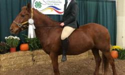 Ranger is a 13.3 jumping pony. He is 8 years old. He has jumped up to 3 feet. He has qualified for States and placed in the Harrisburg 4H horse show the past 2 years. Ranger is a great pony! Never needs shoes, stands great for the vet and for the farrier.