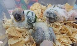 WOW !! JUST IN TIME FOR CHRISTMAS....GIVE THE GIFT OF LIFE BABY SUN CONURES HAND FEEDING 3 TIMES A DAY LIMITED QUANTITY, DONT DELAY CALL TODAY 954-632-0863 FULLY GUARANTEED OPEN EVERY DAY TILL 9: P.M. INCLUDING CHRISTMAS EVE AND CHRISTMAS DAY.... BUY NOW