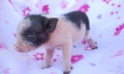 ** Piglets will be ready Christmas week! Reserve yours now*** Text me your email for individual pictures ** $350- 500 **We have a new litter. Reserve yours now with deposit. Close ups to come soon** We have new babies! For sale are 4 Micro Mini teacup
