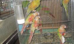 NICE DNA TEST CINNAMON AND YELLOW SIDE GREEN CHEEK CONURE FEMALE 1 AND HALF YEAR OLD BREEDER NO PET SALE OR TRADE FOR MALE AROUND 2 YEAR OLD pick up only 732-881-7029