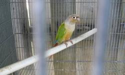 Cinnamon Green Cheek - hand feeding at this time - weaned $125 - shipping $99 and shipping carrier is $35 - invoice for payment thru Pay Pal