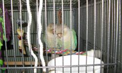 George & Gracie are 2 Cinnamon/Turquoise Green Cheek Conures. They're clutch-mates and are very bonded so they can't be separated. They're not DNA'd. They're 4 months old, just starting to talk and mimic. They step up and love to hang out on your