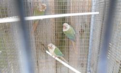 I have 2 pairs of Cinnamon Turquoise green cheek pair for sale for $400.I also have pineapple pairs for sale at $300.I also have single adults for $150. Call 786-514-1700