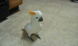 I have a 1 year old citron cockatoo. she is very friendly. In perfect feathering. she will be rehomed with a new large black cage, toy's and anything else she has. serious inquiries only. asking $600. my pc isn't letting me download pics
