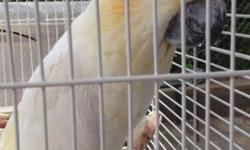 Young Citron Cockatoo Speaks many words and phrases Comes with cage and toy Unfoftunately can not keep this awesome bird