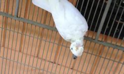 Citron cockatoo macho muy saludable es bien manso y habla cantidad