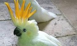 Citron Cockatoo babies. Hatch dates of May 24, 2013, and June 18th, 2013. Oldest is still being handfed once daily, the younger twice daily. Please email for more information, This ad was posted with the eBay Classifieds mobile app.