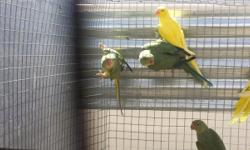 I have this year's cleartails for sale. I have 1 green cleartail/blue male for $600. 1 violet green/blue cleartail female for $900, and I have 2 violetgreen/cleartail/blue males for $350. Feel free in contacting me for further information at 5303832891 or