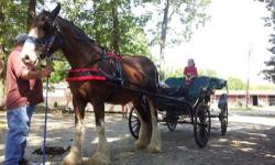 I have a 15 year old Clydesdale mare and Surrey for sale. Great mare, rides and drives like a dream. She is 16.2 hands and about 1800 lbs. She is good with her feet, and has the best disposition ever. The surrey is a Justin Carriage Company 4-person