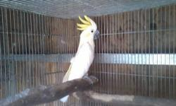 Cockaloo lesser sulphur-crested male #8 years, not tame very good cockaloo for a breeder. any infor call 619-922-2473, thank you