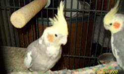 hi,i have a pair of Cockatail birds male and female and one baby they are good breeds need to sell ,,,,,,,, can call jenny @(978)230-9679 $100 for all 3 or 35 each and if you want a good breeding birdcage for $150 dollars i paid $350 dollars