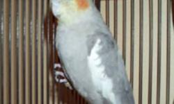 2 females cockatiels 2 year old very healthy This ad was posted with the eBay Classifieds mobile app.