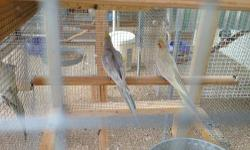 young and healthy cockatiels for sale ready to breed, starting at $25 and up...... email if you have any questions whiteface lutinos pieds normal grey split to emerald emeralds