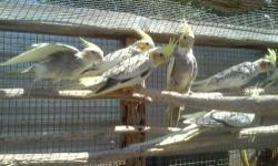 Cockitiel young male female 30.00 and up. for infor pleases call 619-922-2473