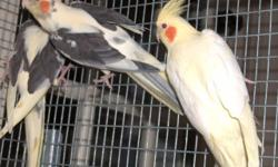 Young male cockatiel available he is not tamed would be good for breeding $50 email me with your number if interested thanks.