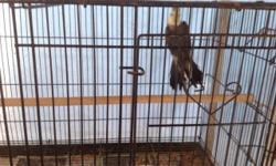 Gray pastelface proven male mate flew away not tame for breeding only. Call or text (619)245-7065
