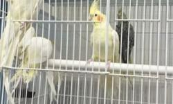 Hi i have cockatiel and parakeets for sale on different colors price range from 80 to 130 depending on the color and the english parakeets are 50 each. Please email me or call or text 973 609 9216