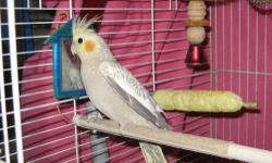 i have a pearl and a gray pearl babies looking for a new home i might have a white face for sale too