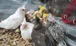 Beautiful baby cockatiels. Still hand feeding. Should be weaned in 2-4 weeks. This ad was posted with the eBay Classifieds mobile app.