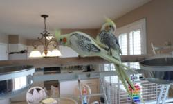 Cockatiel babies for sale. I have a clutch of (4) 8 wk. old fancy, pied and cinnamon cockatiels. They have been hand feed and are very tame. They would make a great pet for any family. They are eating Zupreem (fruit blend) and nibbling at fruits and