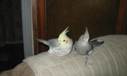 I have baby cockatiels that are almost weaned of several colors Grey $50, cinnamon pied $60. I also have the albino $80 and the whitefaced pearl pied $80 . Call me at 727-726-6864