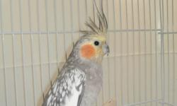 Pearl 2yr. old female & 3yr. old gray/split to pearl male. $45.00 rehoming fee for the pair. You can breed or train as pets. Please call 352-390-0590