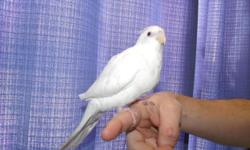 Hello, I have a white face lutino young handfed cockatiel. Very healthy and in great feather. Loves people and being out of the cage. Adoption fee $175.00