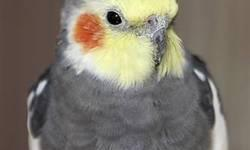 Cockatiel - Pippin - Medium - Adult - Male - Bird Pippin the cockatiel has been around for a long time. He looks a little different from other birds because sometime in his life another bird over-groomed his head feathers. He is a very social little