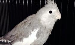 3 month old male hand raised cockatiel. Is cage territorial. You can do anything with him once he is out of the cage. This ad was posted with the eBay Classifieds mobile app.