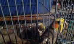 Yellow and Gray colored cockatiels. Handled almost daily. Great companions for the bird lovers of the world. Please call 614-491-4175 for more details.