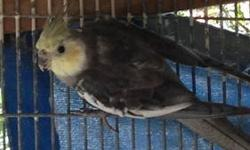 I have the following: Pied $35 each White Face split to pastel face male $45 White Face Cinnamon male $60 White Face split to pastel face hen $45 2 Pastel Face Cinnamon hens $115 (2011 and 2012 hatched) White faced Single Factor Dominate Silver male $115