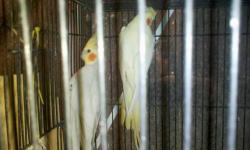 cockatiels proven breeders female lutino male is emerald they are 13 months old breed 3 months ago first time ..going in the box now ....Thanks ....175.00 each pair also 2nd pair male heavy pied split cinemon and hen lutino big size birds and great young