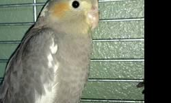 I have 4 baby cockatiels that need new homes they are tame and love attention. I am asking for a 50 dollar rehoming fee or make me a offer :) You will need your own cage and supplies If interested please text april @ 5033149658 Thank you