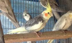 Not Tame Breeder Cockatiels: Pied (2 proven males) $35 White Face male $50 White Face hen $50 Tame: Pearl $70 Cinnamon Pied $80 Grey split $50 Cinnamon Pearl $80 Lutino $100 Lutino Pearl $100 Pied $70