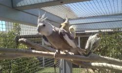 Young Cockatiels $30.00 and Up, For more information Call me 619-922-2473 Thank you