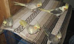I have sweet hand fed baby cockatiels for sale, also budgies commonly known as parakeets and green cheeks. We also sit for birds when you go on vacation and we do trimming of wings, toenails and beaks if necessary. Call us if we can help you, doing this