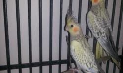 I have several nice cockatiels for sale. I am also still hand feeding several babies. I have a couple of whiteface greys, one is a pied. The babies are very sweet. Call me Mari Howard at 727-726-6864.