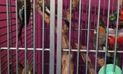 Pair of breeders will come with their cage