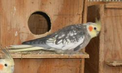 5 pearl-pied cockatiels $35 each or may trade the cockatiels for other birds. *the cockatiels are 2 years old and are not tame* please bring a carrier/cage. I will only meet in a public area. text or email only 602-614-5287