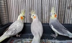 Have 3 female cockatiels, pearl Cinnamon $50, cinnamon $50 and light cinnamon grey $40. All birds are not tame they all under 1.5 year old, Wing are clips, Trade one for a male pied cockatiel, or buy all 3 birds for $120, if interest in trading reply with