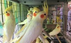 Cockatiels many colors to chose from male and female available, visit us at any of our two location: 2550 Imperial Ave. SaN Diego, Ca 92102 or call 619-677-3269 9531 Jamacha Blvd. SpringValley, Ca 91977 or call 619-434-3207
