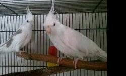 I have very pretty Hand fed baby lovebird and cockatiels. Also young pairs. Mulitude of mutations. Looking to reduce the flock. Lovebird and Cockatiel PAIRS are at 125.00 *** reduced*** prices untill March 15 2013. also for sale 2 DNA'd pairs of indian