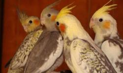3 Lovebirds and 4 cockatiels for sale $40 each Email for info (serious buyers only )