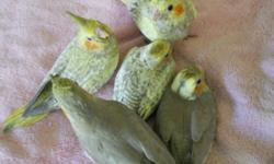 Babies cockatiels almost wean, just one more weeks. You finish hand feeding, $260 for all five babies cockatiel not sell individually.. sorry, Serious inquiry.