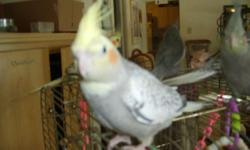 I CAN PLACE A NORMAL GREY, YELLOW AND ORANGE COCKATIEL BABY WITH YOU FOR as little as $65. I DO NOT GET ONLINE MUCH, SO PLEASE CALL ME WITH YOUR QUESTIONS. I have older single birds that I can offer which can be used for pet or breeding purposes. Also