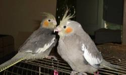 Cockatiel Breeders...2 years old....1 Male Pied...2 Female Grey...Emerald/Lutino background....$ 35 each..... They were hand-fed. Call 262-605-8736 Kenosha,WI. Thank You