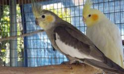 Adult Breeder Cockatiel: Pastel Pied male $100 Pastel Pearl hen $120 Pastel Males $45 Pastel Pearl hen $120 https://www.facebook.com/11RAviary